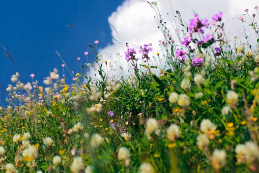 Alpine valley meadow with vibrant colorful flowers